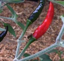 25+ Rare Organic Black Cobra Pepper Seeds-W 42