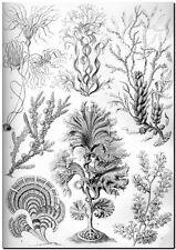 "ERNST HAECKEL CANVAS PRINT Art Nouveau Nature Sea Life 16""X 12"" Fucoideae"