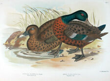 1890,RARE BROINOWSKI LARGE FOLIO COLOUR LITHO BIRDS OF AUSTRALIA TEAL WWQ