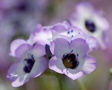 Vogeläuglein • Gilia tricolor • 300+ Samen/seeds • Blumenwiese • Duft•Bird's Eye