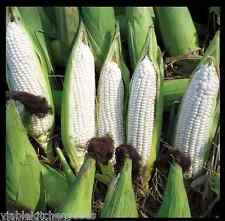 White spear corn,Asian maize sweet glutinous sticky waxy corn seeds---(25) seeds