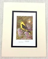 Vintage Uccello Stampa Golden Oriole Rosso Petto Flycatcher Thorburns Ca 1929