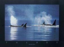 Orcinas Orca - Bob Talbot prints - 61x45cm, killer whale posters, talbot photos