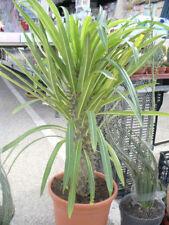 Pachypodium, Hundsgiftgewächse, Madagaskarpalme, - schöne Zimmerpflanze