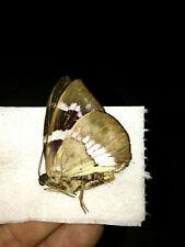 CASTNIA atymnius futilis male in A-