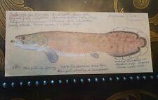 LEON PRAY Signed ORIGINAL ARAPAIMA GIGAS PIRARUCU  Color Fish Drawing