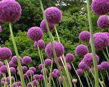 10 Samen Riesen-Lauch - Allium giganteum - Zierlauch - winterhart-Blüten -15 cm