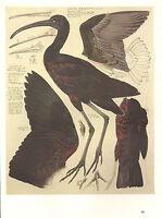 VINTAGE BIRD PRINT ~ GLOSSY IBIS ~