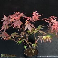 Acer palmatum 'Atropurpureum' Roter Fächerahorn im Topf