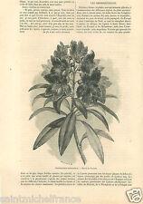 Alpenrose Rhododendron Ferrugineux Plante Dessin de Freeman GRAVURE PRINT 1859
