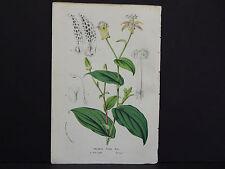 Van Houtte, Botanical, 1858 #47 Tricyrtis Pilosa