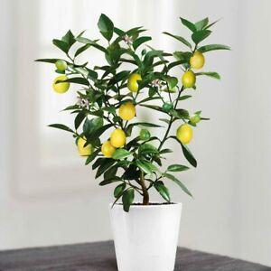 1 Mini Tree Of Lemon, 25 cm -