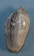OLIVA INCRASSATA 42.51mm STRIPED SPECIMEN El Golfo de Santa Clara, Mexico