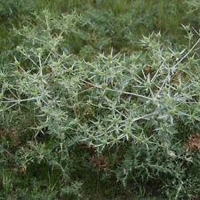 Eryngium campestre, 100 seeds