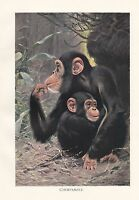 C1914 Naturale Storia Stampa ~ Scimpanzé & Young ~ Lydekker