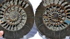 """513x ULTRA-RARE New Find Speetoniceras 4.3# PAIR Russian 269mm Ammonite XXL 7.8"""""""