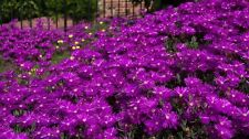 50+ DELOSPERMA PURPLE ICE PLANT FLOWER SEEDS / PERENNIAL