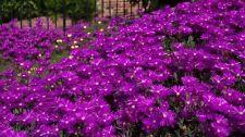 50+ DELOSPERMA PURPLE ICE PLANT FLOWER SEEDS /PERENNIAL