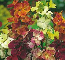 Wallflower Crown single Mix -  Approx 1500 seeds - Annuals & Biennials