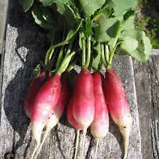 RADISH SEED ,FRENCH BREAKFAST , HEIRLOOM, ORGANIC, NON GMO, 50+ SEEDS, RADISHES