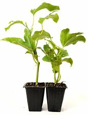 Edible Passion Flower - 2 Pack Great Fruit Hardy Fresh Mature Self Fertile