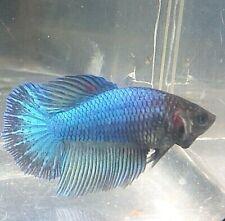New listing Betta Aqua Blue Butterfly Turquoise Star Tail Halfmoon Hm Female Premium Bf09