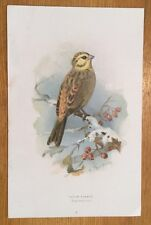 c1880 - Yellow Hammer, Colour Lithograph By Thorburn.