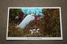 Vintage Postcard American Egret And Young, Everglades National Park, Florida