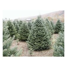 "Canaan Fir - Abies balsamea - Hardy Established Roots - 2.5"" Potted - 6 Plants"