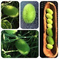 Igelgurke Cucumis dipsaceus Kardengurke hellgrüne Ziergurke mit weichen Stacheln