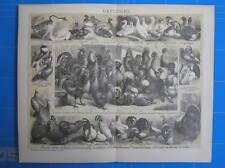 Antique print Poultry bird duck chicken 1892 gevogelte