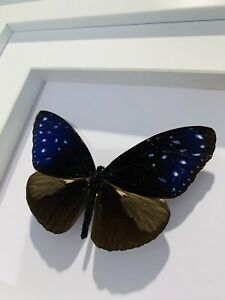 Real Blue Shimmer Crowe, euploea Midamus,  Butterfly, Insect Taxidermy