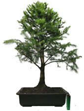 spruce (picea abies) outdoor bonsai tree