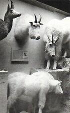 Postcard CT New Haven Yale Peabody Museum Meriden Gravure Mountain Goats 30s-40s