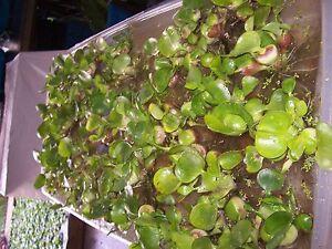 25 HELEN'S,WATER,HYACINTH,POND,PLANTS =75+ BULBS,100% ORGANIC GROWN,PA # OOO5DL