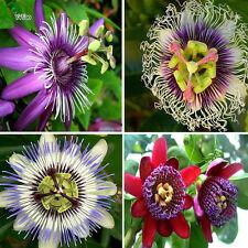 20 Rare Flower Seeds Passiflora seeds fruit tree seeds Passion fruit seeds Home