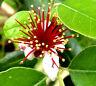 """ERDBEER-GUAVE Früchte  """"Psidium littorale"""" rote große Blüte und rote süße Frucht"""