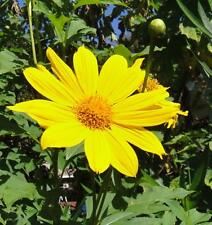25 Yellow Torch Mexican Sunflower Tithonia Speciosa Flower Seeds +Gift & CombS/H