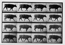Eadweard Muybridge Ox Trotting Cow Animal Locomotion 1887 Photo Postcard 4x6