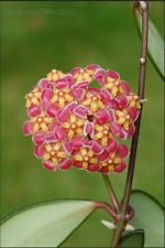 """Hoya davidcummingii, Peduncle, Multi Actively Growth Plant. 2.75"""" pot."""