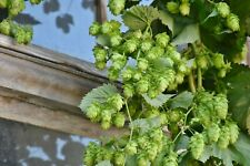 Hops Seeds - Humulus Lupulus - multiple quantities - home brewing