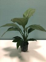"""SENSATION"" THE SUPERB ""PEACE LILY"" FOR HOME INTERIOR SCAPE-GROW & UPGRADE YOURS"