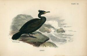 1896 SHAG WATER BIRD Antique Chromolithograph Print Lydekker Lloyds