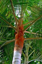 "Dypsis leptocheilos, 3 Gal / 10"" Teddy Bear Palm Tree Live Tropical Rare!"