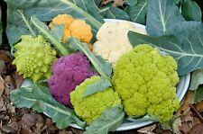 25 Seeds Cauliflower Tasty Color Mix Seeds Color Cauliflower Seeds