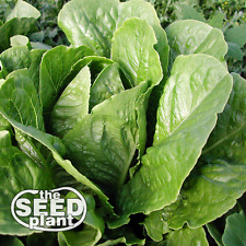 Parris Island Romaine Lettuce Seeds - 1,000 SEEDS - SAME DAY SHIPPING