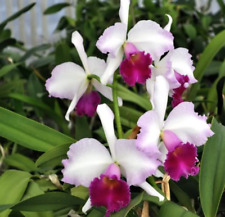 New listing Lc Marcia Foster 'Bob Sanker' Am/Aos orchid plant (175)