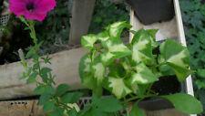 House Plant   /  Variegated german ivy