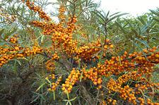 Winterhart Pflanzen Samen exotische Saatgut Zierpflanze Strauch SANDDORN