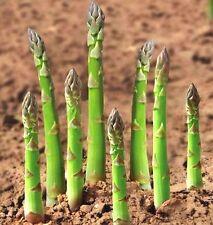Fd4633 Asparagus Seeds Organic Heirloom Rare Green Vegetable Perennial Garden☆